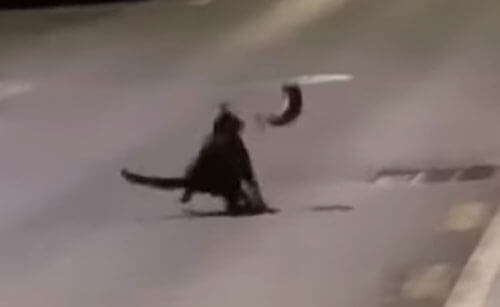 кошка против крысы-ниндзя