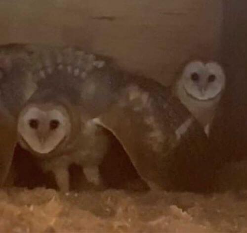 сова защищает своих птенцов