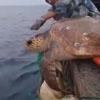 рыбаки выпустили черепаху в море