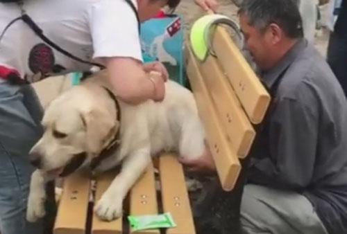 лабрадор застрял в скамейке