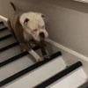 бульдог скачет по лестнице