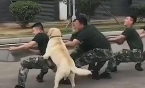 перетягивание каната с собакой