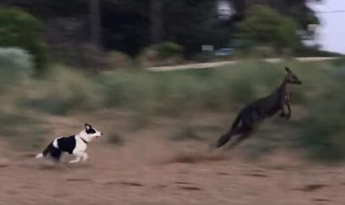 кенгуру устроил хаос на пляже
