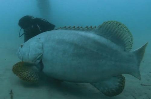 удивительная рыба-переросток