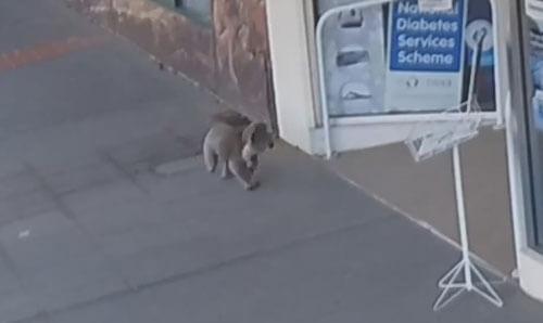 коала посетила аптеку