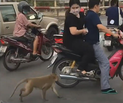обезьяна запрыгнула на мотоцикл