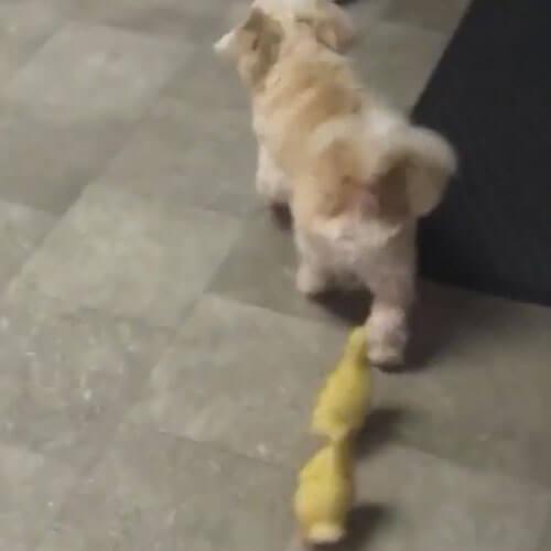 утята гоняются за собакой