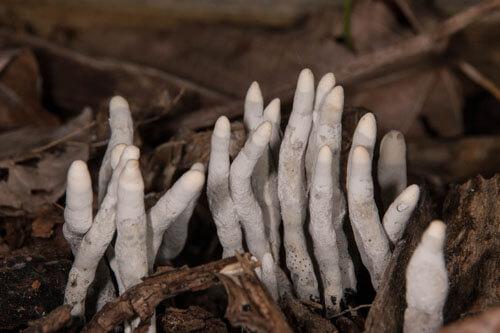грибы похожи на пальцы мертвеца