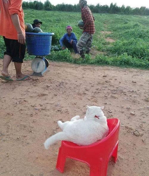 сварливый кот на арбузной ферме