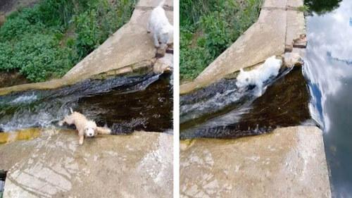 собаки переходят через ручей