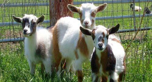тест на отцовство для коз