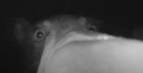 медведь подошёл к видеокамере