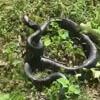 змею перепутали с палкой