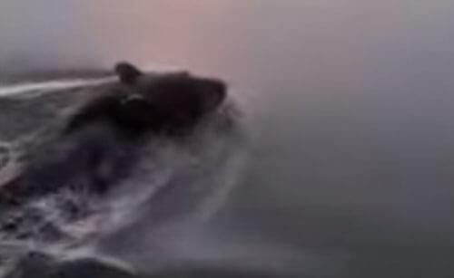 медведь в воде с банкой на голове