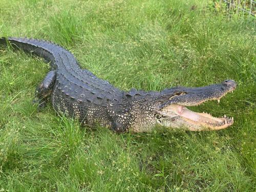 аллигатор-инвалид на крыльце
