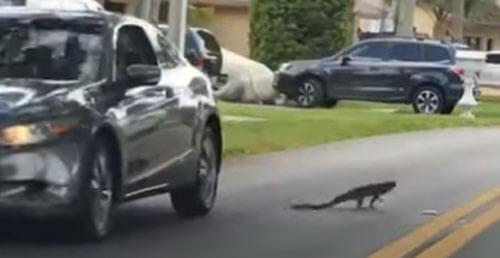 игуана чуть не попала под машину