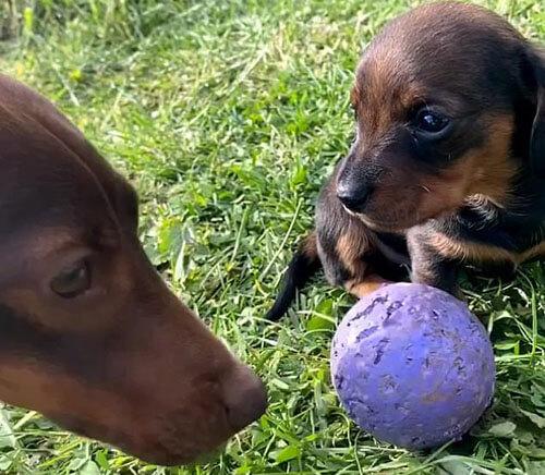 такса попыталась поиграть с щенком