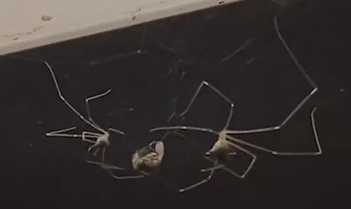 пауки работают в команде