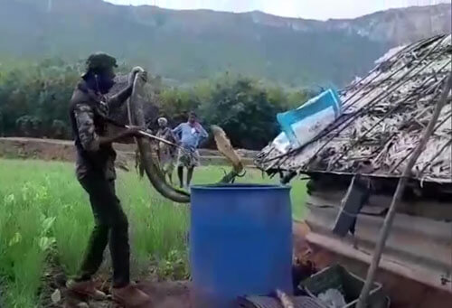 крупную кобру выпустили в лес