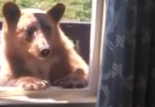медведь лезет через окно