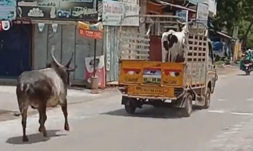the bull chased the truck