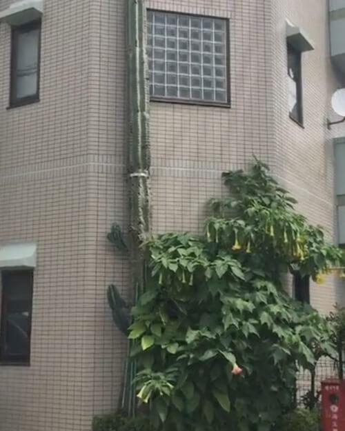 кактус вырос выше дома
