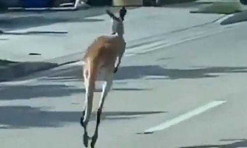 поимка дружелюбного кенгуру