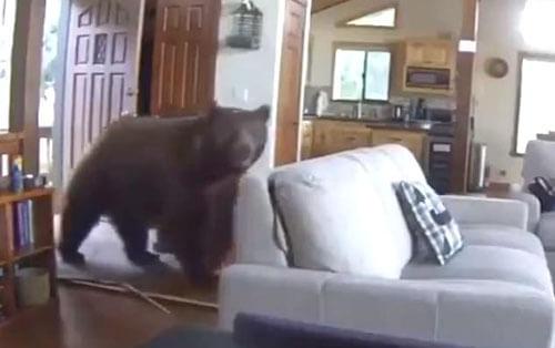 медведь выбил входную дверь