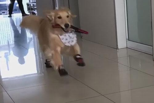 ретривер играет в ветклинике