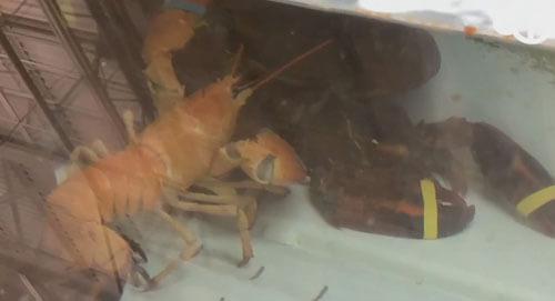 редкий оранжевый лобстер