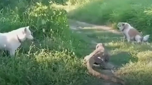 варан ударил собаку хвостом