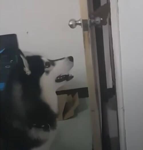 хаски закрыл дверь перед хозяйкой