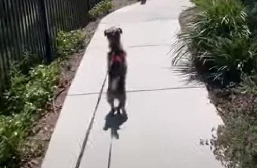собака встаёт на задние лапы
