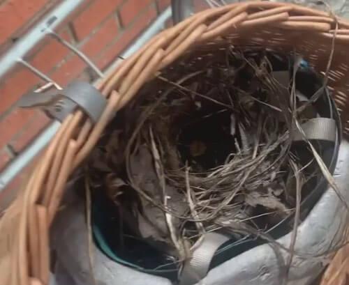 гнездо в велосипедной корзинке