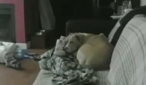 собака спит с хозяйским ботинком