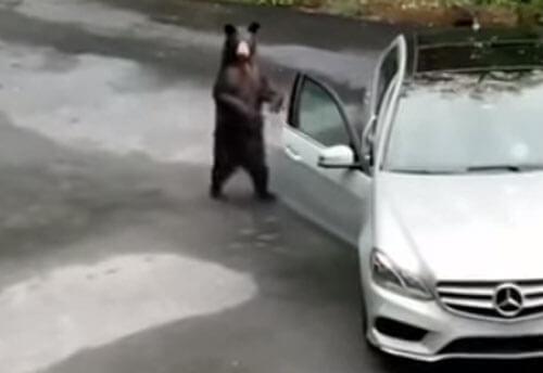 медведь открыл дверь машины