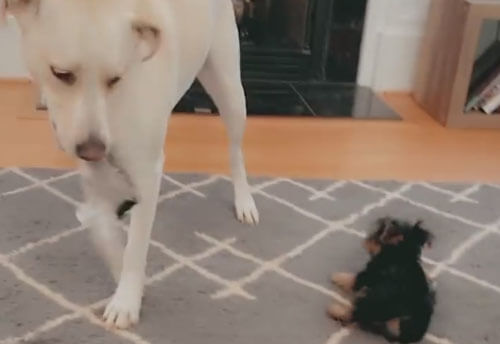 жёсткая игра с щенком