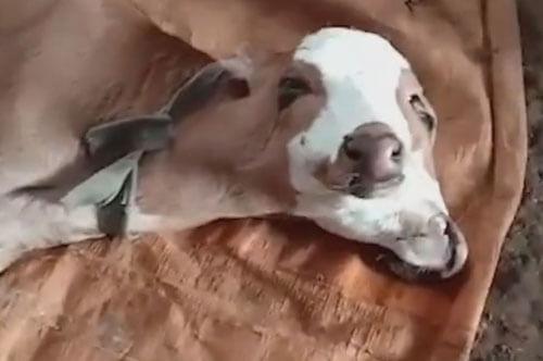 фермер молится о телёнке-мутанте