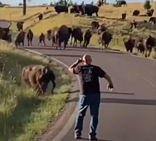 бизон напал на туристку