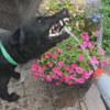 жадная собака пьёт воду