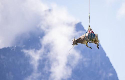 корова полетала на вертолёте