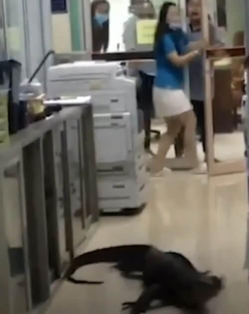 варан приполз в офис