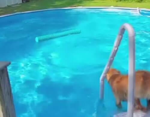 пёс плавает в бассейне с игрушкой