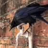 умная птица утоляет жажду