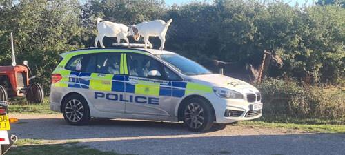 козы на полицейской машине