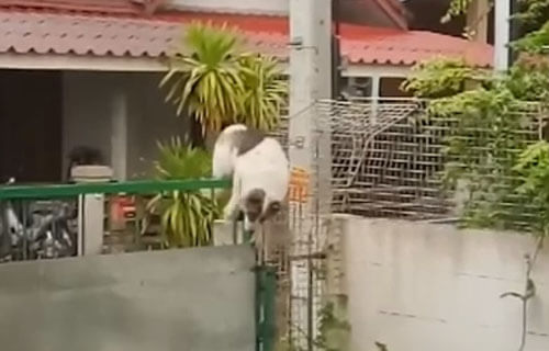 собака лезет через ворота