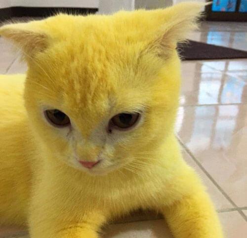 лечение кошки куркумой