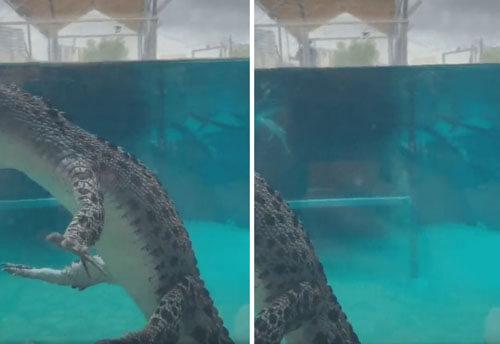 крокодил смешно плывёт