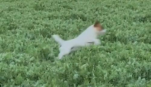 пёс прыгает в поле как кенгуру