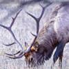 умирающий лось убил охотника